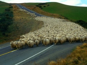 john-carnemolla-flock-of-sheep-in-roadway